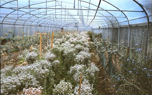 lettuce & leek seed crops
