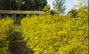 Parsnip seed crop