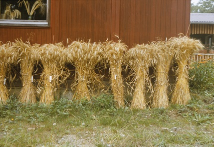 selection of farm-saved wheat varieties