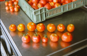 tomatoes for seed extraction